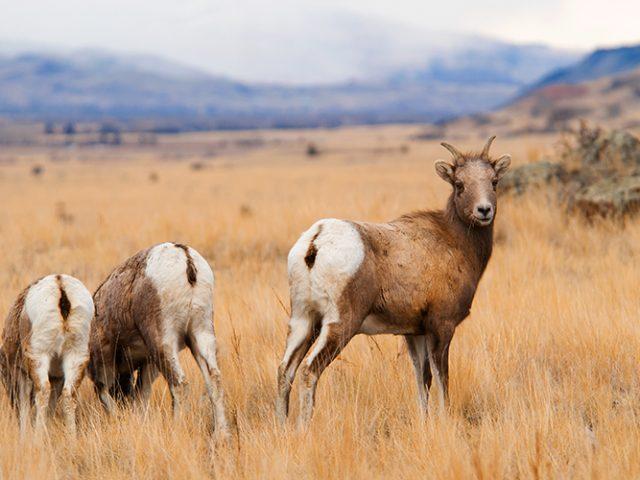 Big Horn Sheep Ewes
