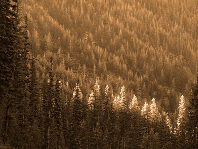 Trees In Light